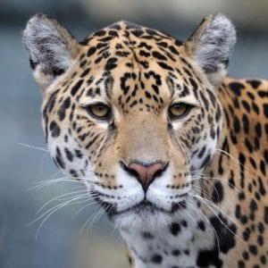 Jaguar in the jungles of Guatemala.