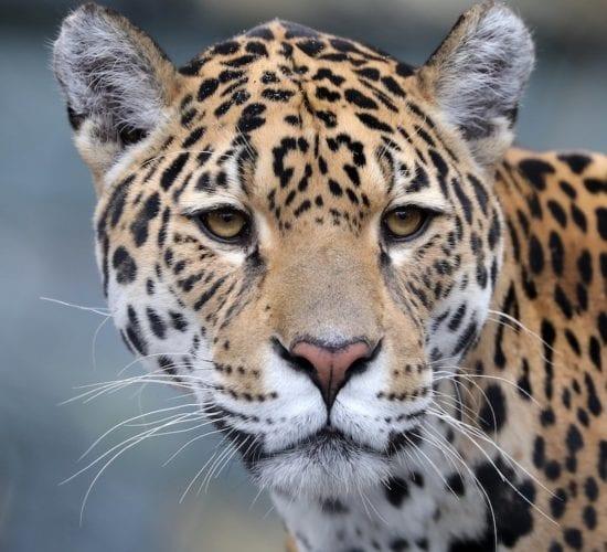 Jaguar in the jungles of Guatemala. Guatemala Tour Packages