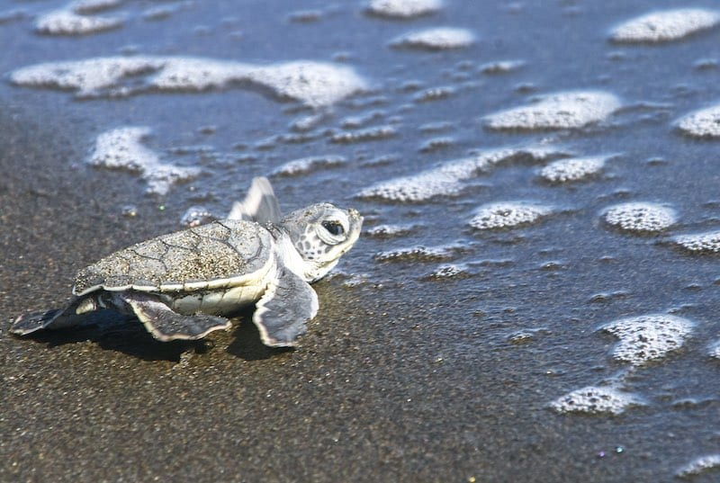 A baby green sea turtle reaches the ocean after emerging from its nest. Central America Holidays