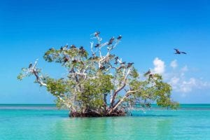 Mangrove tree in the Caribbean Sea in the Sian Kaan Biosphere Reserve near Tulum, Mexico. Holidays in Mexico.