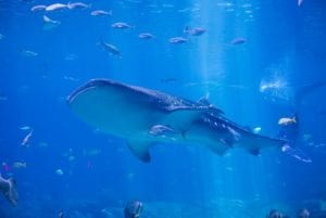 Underwater view of whale shark swimming with fish. Snorkeling and diving tours.