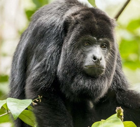 Black Howler Monkey sitting in the forest. Belize Adventure Tour