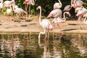 Flamingo birds, Mexico.