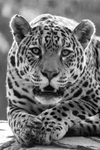 Jaguar in the Maya Biosphere. Travel Guatemala