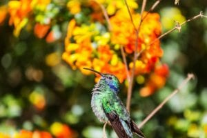 Colorful Hummingbird in Costa Rica. Volunteering in Central America.
