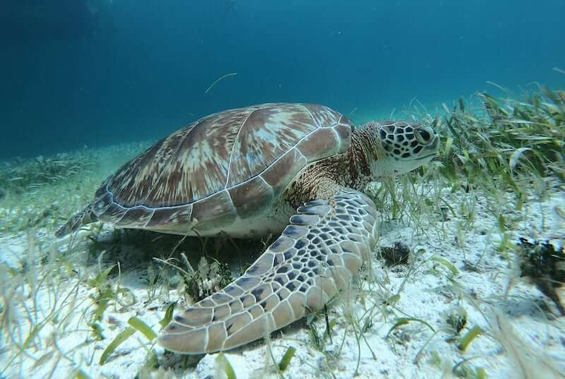 Sea turtle spotted during a private catamaran and snorkeling excursion.